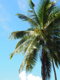A coconut tree under the blue, chill, and clear sky. , Mueang Chiang Rai, จ.เชียงราย, Thailand