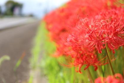 散歩途中に見つけた彼岸花