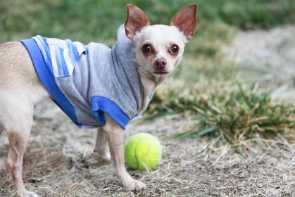 テニスボールで遊ぶペットのチワワ