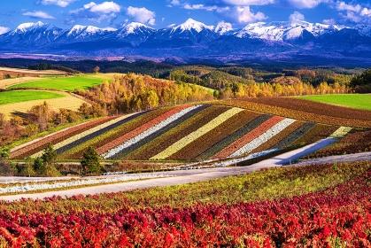 北海道・美瑛町 秋の花畑と冠雪した十勝岳連峰の風景