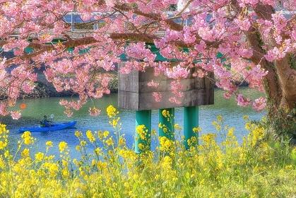 静岡県・南伊豆町 河津桜と菜の花の風景