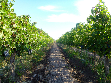 赤ブドウが実ったワイナリーの葡萄畑の様子