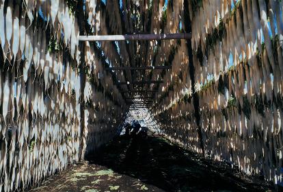 大根干し 宮崎県の内陸は冬の乾燥期にたくあん漬けのために大量の大根を日干しする