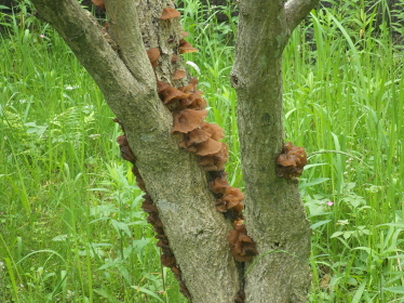 遊歩道脇の植木に生えている茶色いキノコ