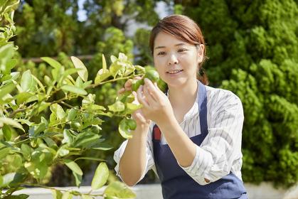 柑橘の実を収穫する日本人女性