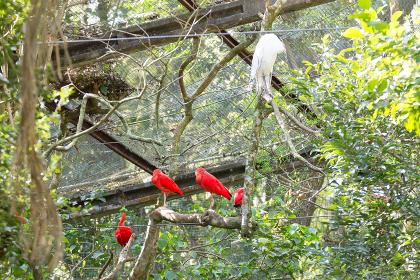 Scarlet ibis bird on the nature in Foz do Iguazu, Brazil
