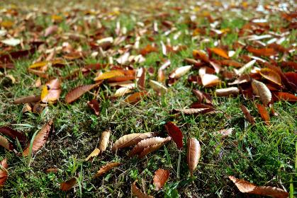 芝生に降り積もる落ち葉