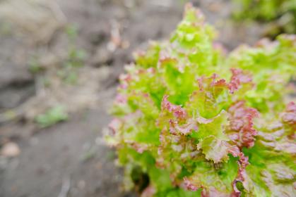 畑ですくすくと育つ家庭菜園のレタス