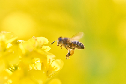 菜の花とミツバチのホバリング