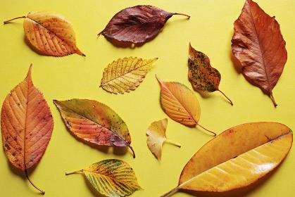 黄色い紙の上に置いた複数の落ち葉。秋のイメージ。