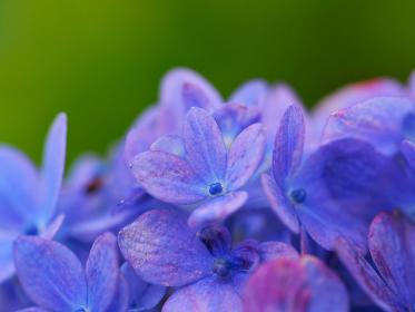 青紫の花アジサイ