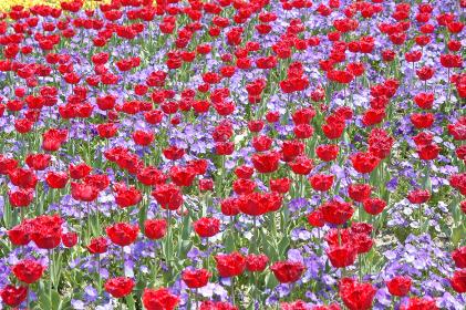 チューリップ畑の彩り