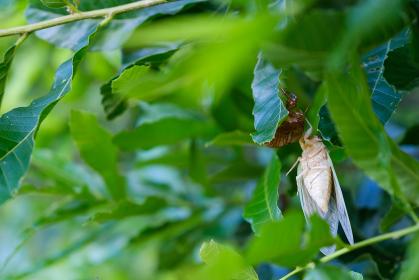 脱皮直後の蝉 羽化 成長