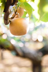 8月、収穫直前の梨畑・千葉県、日本