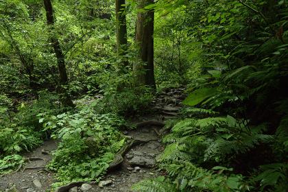 高尾山の森(巨木・森林浴・苔・緑)9月・高尾山・東京都・日本