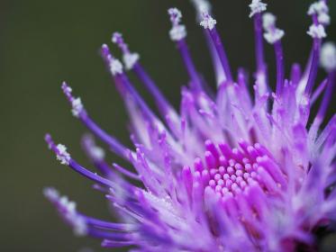 紫色の花アザミ