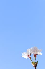 青空とソメイヨシノ 2 縦位置