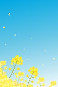 菜の花 青空 景色 風景 縦型