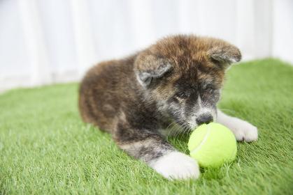 ボールで遊ぶ秋田犬の赤ちゃん