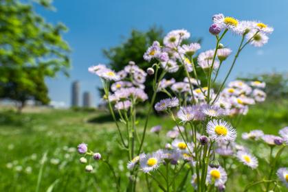 初夏の野原とピンクの花々