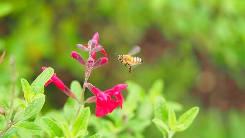 チェリーセージとミツバチ