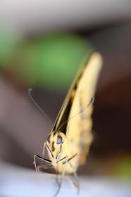 正面から見たアゲハ蝶