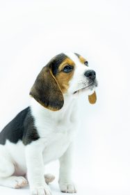 Close-up of tricolor beagle puppy sitting on white background, vertical image of sitting puppy looking to the right.