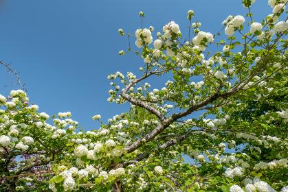 青空と白い手まり花 4月
