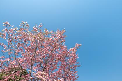 春の青空と桃色のハナミズキの花 4月