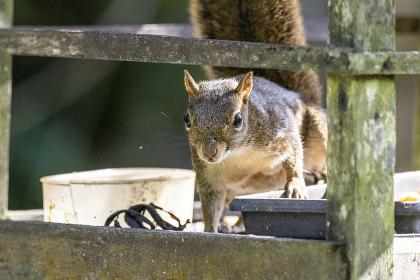 Beautiful brown squirrel on fruit feeder in the rainforest , Penedo, RJ, Brazil