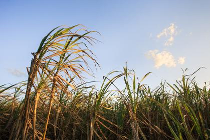 日本最南端、沖縄県波照間島のサトウキビ畑