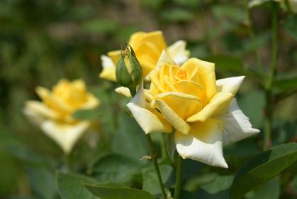光華 バラの花