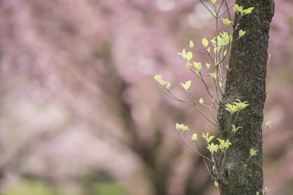木の新芽 満開の桜が背景