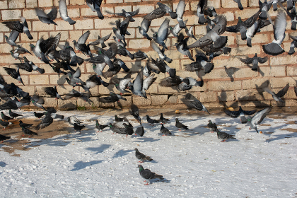Lovely wild pigeons bird live in urban environment in winter