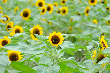 向日葵畑に集まるミツバチ