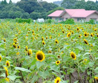 満開に咲いた都市農業センターのひまわり