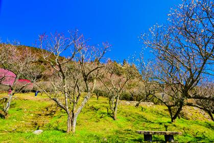 北九州市三岳梅林の梅の林