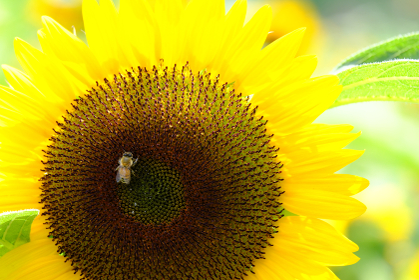 ヒマワリのアップと可愛い蜜蜂