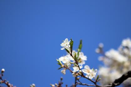 春の青空と白いすももの花