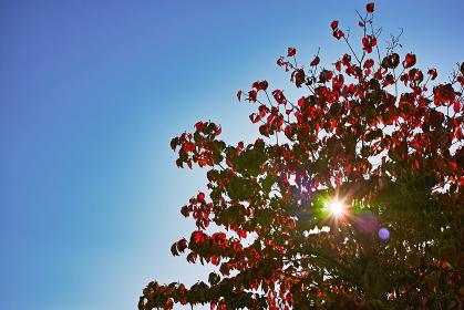 太陽の透過光で赤色が際立つ木の紅葉と青空