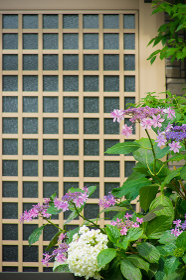 玄関先の紫陽花(植物・アジサイ・花・季節)