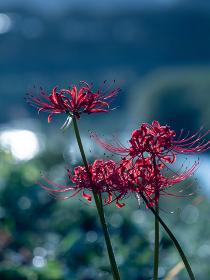 暗い森の中でそっと咲く曼珠沙華の花 9月