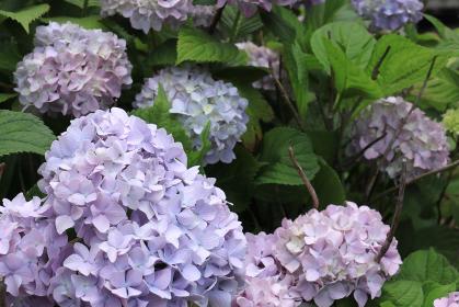 アジサイ 11 紫