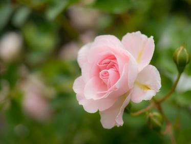 植物 花 薔薇