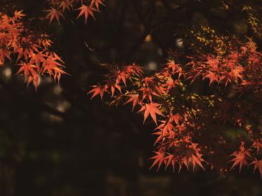 美しく色づいたモミジの葉 11月