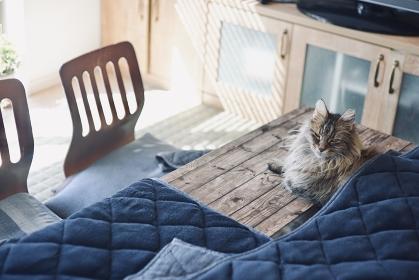 こたつ布団に入る猫 / ノルウェージャンフォレストキャット