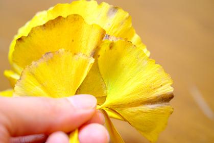 手に持つイチョウの葉っぱ