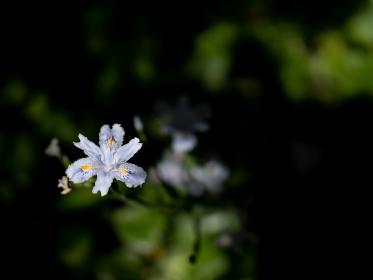木陰に咲くシャガの花 4月
