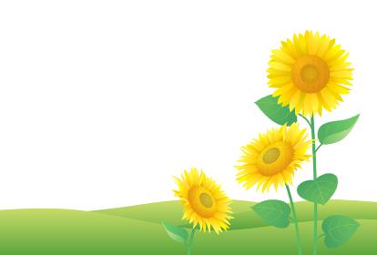 夏の草原に咲くひまわり 横 ハガキ用