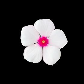 ニチニチソウの花 切り抜き